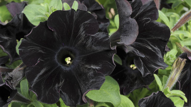 World's first black flower created – Channel 4 News