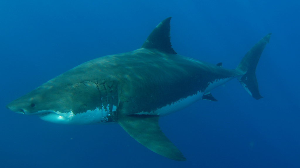 Why female great white sharks avoid males for months on end ...