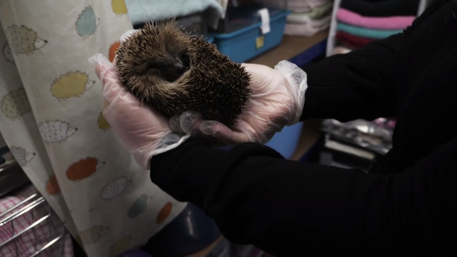 GdBj2nuR2v0 image 1920x1080 - Why Britain's hedgehogs are in serious trouble – Channel 4 News
