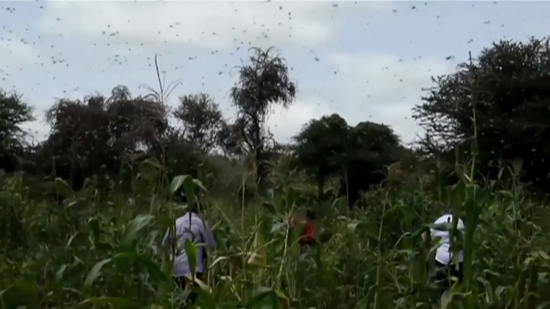 UN seeks help to thwart locust swarms in east Africa - channel 4
