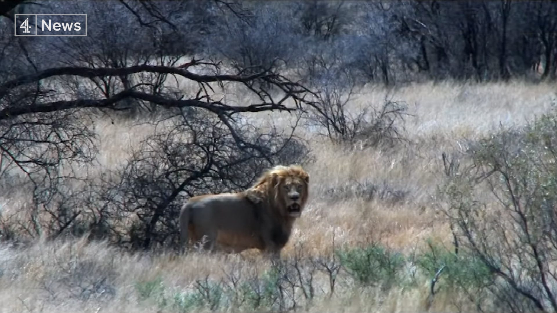 Five years after Cecil the lion was shot dead, trophy hunting continues - channel 4