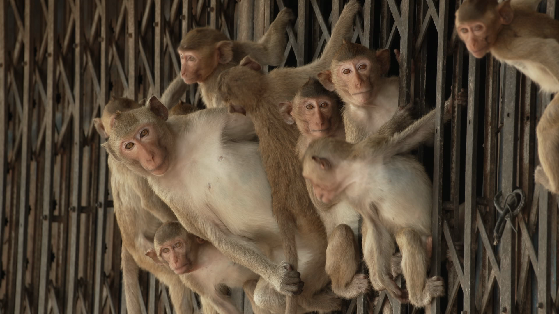 How the Covid-19 pandemic gave a Thai monkey population newfound freedom