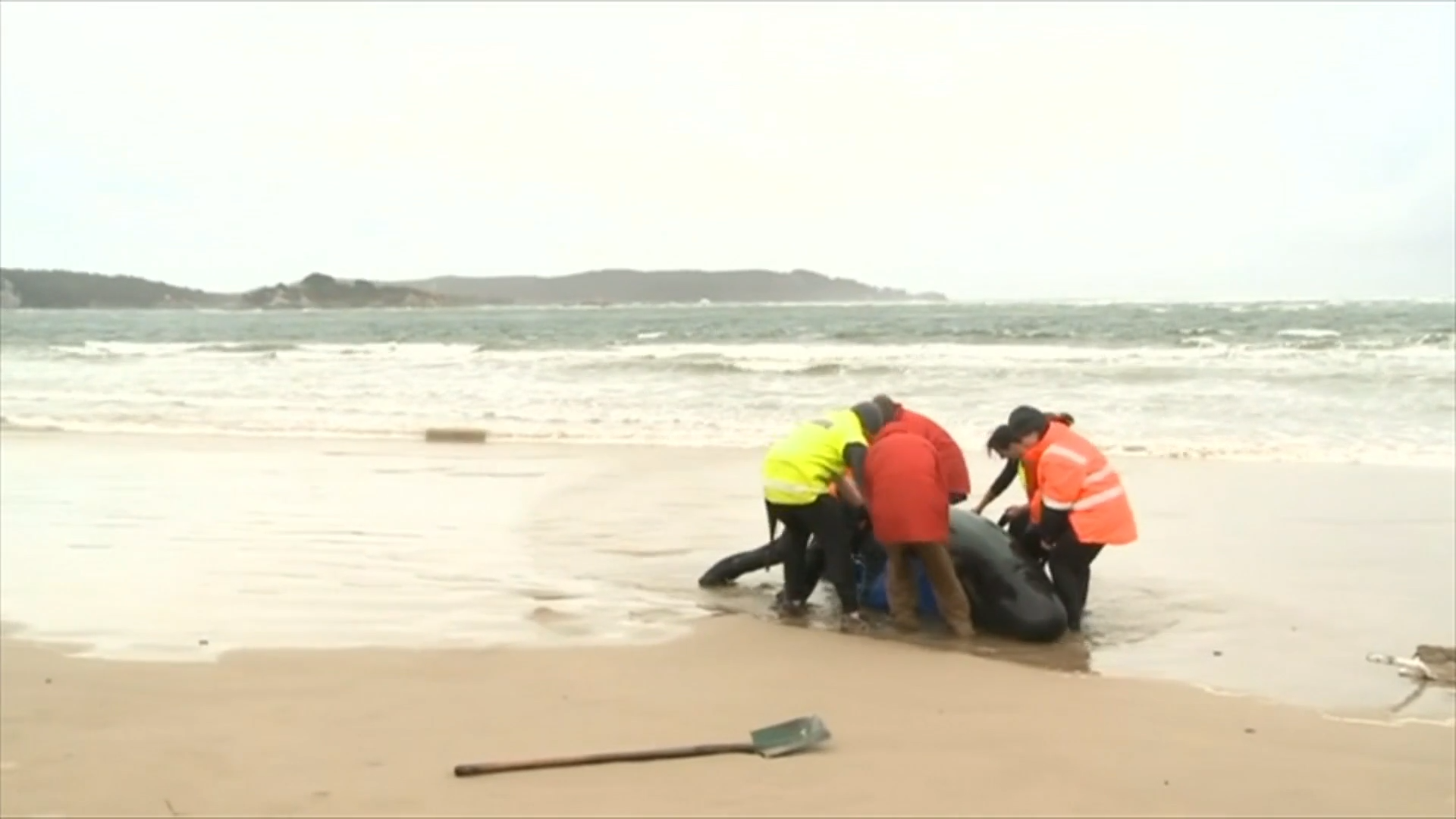 Almost 400 whales die in Australia's worst stranding - channel 4